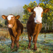 Stock Photo: Inquisitive Cows