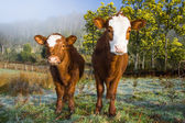 Inquisitive Cows — Stock Photo