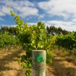 Stock Photo: Margaret River Chardonnay Vines