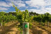 Margaret River Chardonnay Vines — Stock Photo