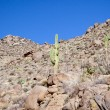 Stock Photo: Hillside Cacti