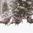 Stock Photo: Wild Turkeys In Snow