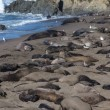 Elephant Seals in Breeding Season — Stock Photo