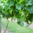 Young Grapes On a Vine — Stock Photo