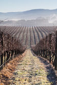 Fog In The Vines in the Yarra Valley — Stock Photo