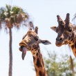 Pair of Giraffes — Stock Photo #41102901