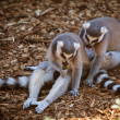 Stock Photo: Ring-tailed Lemurs Eating