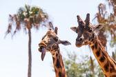 Pair of Giraffes — Stock Photo