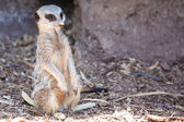 Watchful Meerkat — Stockfoto