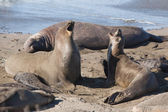 Elephant Seals Fighting — Stock Photo