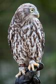 吠えるフクロウ — ストック写真