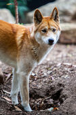 Watchful Dingo — Stockfoto
