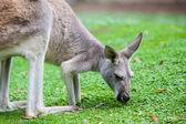 Single Kangaroo — Stock Photo