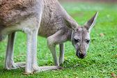 Single Kangaroo — 图库照片