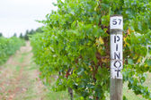 Pinot Grapevine — Stock Photo