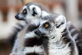 Lémures de cola anillados — Foto de Stock