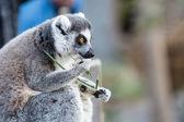 Ring-tailed Lemur Eating — Stock Photo