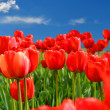 Stock Photo: Field of red tulips with blue sky and starburst sun