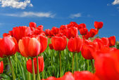 Field of red tulips with blue sky and starburst sun — Stock Photo