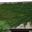 Whole home facade covered in green ivy — Stock Photo #45801493