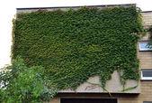 Cały dom fasada pokryta zielony bluszcz — Zdjęcie stockowe