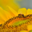 Honey bee in sunflower — Stock Photo