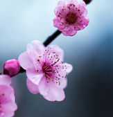 腊梅绽放 Bloom Lamei — Stock Photo