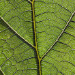 Leaf vein — Stock Photo #25052913