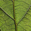 Stock Photo: Leaf vein