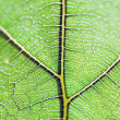 Leaf vein — Stock Photo #25052919