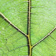 Royalty-Free Stock Photo: Leaf vein
