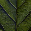 Leaf vein — Stock Photo #25052931