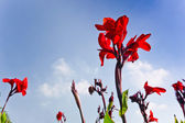 Blue sky and red flowers — Stock Photo