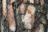 Кора сосны дерево текстуры. — Стоковое фото