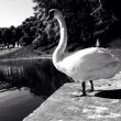 Stock Photo: The swan
