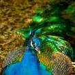 Vibrant Multicolored Peacock Relaxing in the Shade — Stock Photo #23254372
