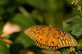 Gulf Fritillary Butterfly sitting on a leaf — Stock Photo