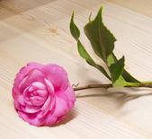 Rosa kamelior — Stockfoto