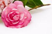 Pink camellias — Stock Photo