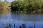 Ördekler ile göl — Stok fotoğraf