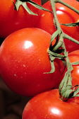 Tomatoes ripening on the vine — Stock Photo