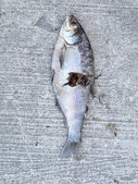 Old dead fish on jetty on Lake Ontario — Stock Photo