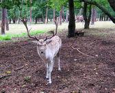 鹿の角と鹿 — ストック写真