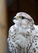Hawk at the Zoo — Stock Photo
