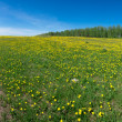 Field of daisies. — Stock Photo