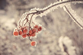 Winter berry — Stockfoto