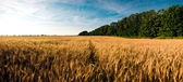The field of rye about city Perevoz. — Stock Photo