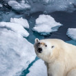 Wild polar bear is sitting in the corner on pack ice — Stock Photo