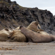 Wild walruses on the ocean beach — Stock Photo