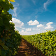 Vineyard in Rheinland Palatine Germany - Stock Photo